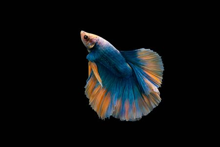 Swimming Action of Betta, Siamese fighting fish, Colorful Betta, pla-kad (biting fish) Thai; Halfmoon blue and orange betta isolated on black background with