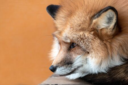 Close up of Cute orange and white fox muzzle close-up in the winter fur on orange color background