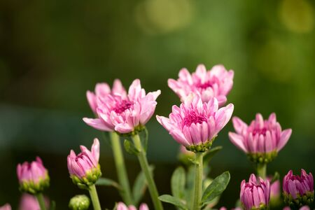 Close up of pink chrysanthemum row with bokeh background Banco de Imagens