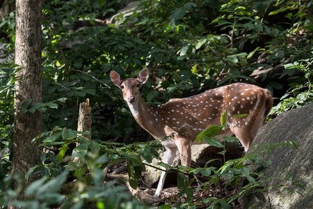 Close up of Female Spotted deer in wild and looking at camera