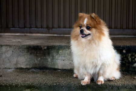 dog pomeranian spitz smiling watch and sitting on ladder in fornt of house