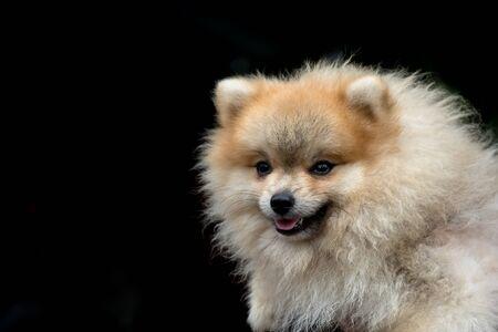 dog pomeranian spitz smiling watch on black background with copy space