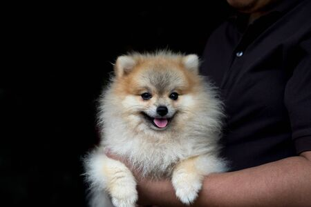 dog pomeranian spitz smiling while holded by man in black T Shirt on black background with copy space Banco de Imagens