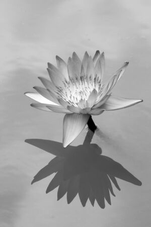 Close up of Lotus with reflection on water as black and white tone Banco de Imagens