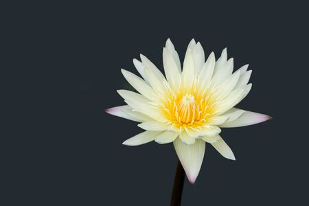 Close up of white and yellow water lily lotus  isolated on grey background