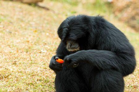 Close up of black Siamnang Gibbon eatting food on grass field Banco de Imagens