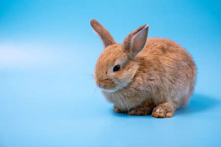 One brown young adorable bunny sitting on blue background. Cute baby Netherlands Dwaf and Holland lops rabbit for Easter celebration