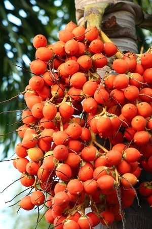 Areca Nut Palm  Stock Photo
