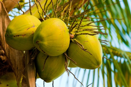 Fresh young coconut on tree