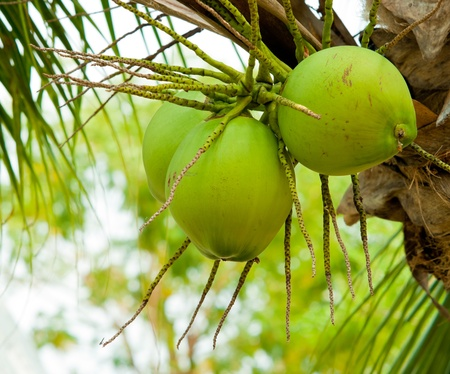Close up of  young coconut on tree Stock Photo - 9259135