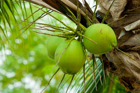 Close up of fresh young coconut on tree photo