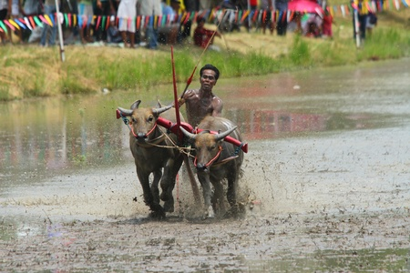 water buffalo: CHONBURI CITY, Thailand - JUNE 19: Participant at the annual Buffalo Water Racing in Chonburi City, Thailand 2011. The event attracts buffalo owners and jockeys from all over Thailand.