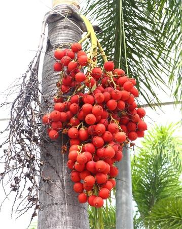 Ripe Betel Nut Or Areca Nut Palm On Tree photo