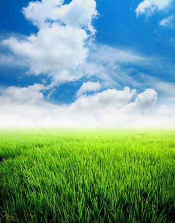 Agricultura campo de arroz con la nube y el cielo azul