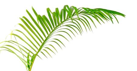 Grünes Blatt der Palme isoliert auf weißem Hintergrund