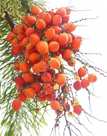 Ripe Areca Nut Palm Or Betel Nut On Tree  photo