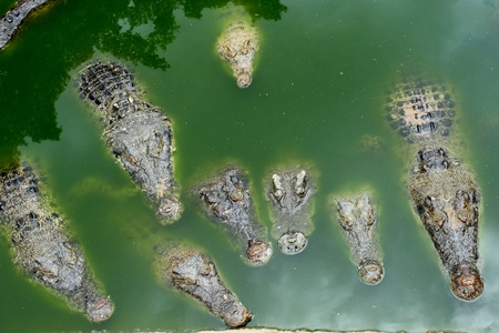 Crocodiles in a farm, in the combination breed Thailand  photo