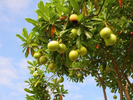 Cerbera oddloam fruit on tree with blue sky.