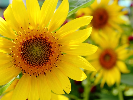 Sunflower in the garden photo