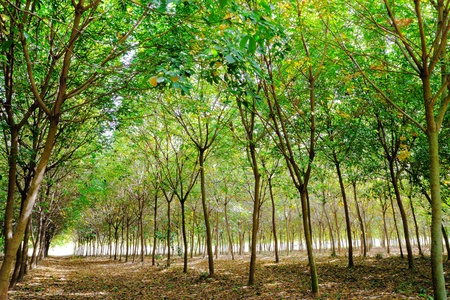 rubber plant: Rows of rubber trees, Eastern Thailand. Stock Photo