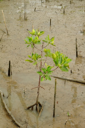 Young mangrove tree photo