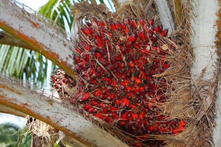 Palm Oil Fruits on the tree