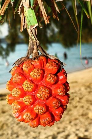 pandanus tree:  Pandanus is tropical tree grow on the beach