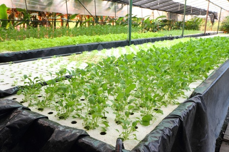 Organic hydroponic vegetable garden at Thailand