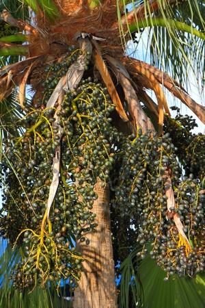 palm tree fruits on tree  photo