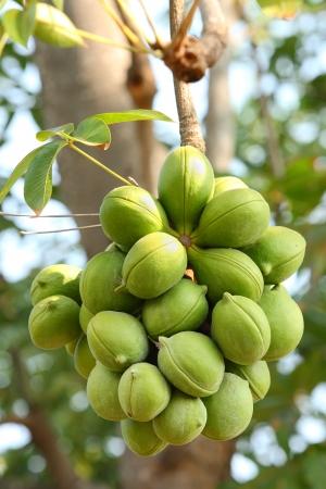 Sterculiaceae on tree,   Biodiesel  Stock Photo - 13711889