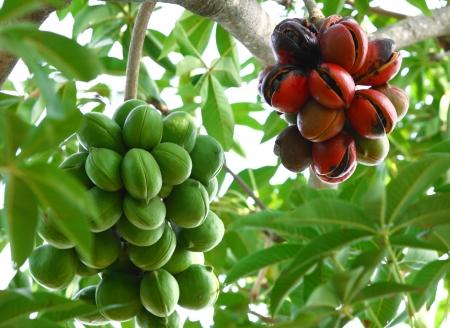 Sterculiacées sur l'arbre, le biodiesel Banque d'images - 13769413