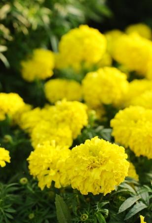 Yellow marigold in the garden photo