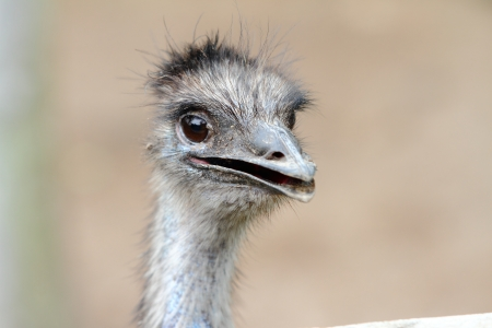 flightless: Close-up portrait of the massive flightless bird, the Cassowary
