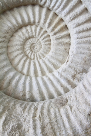 fossilized: ammonite prehistoric fossil on the surface