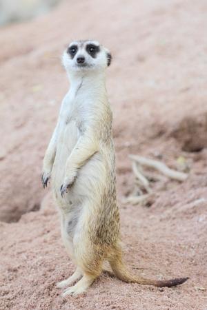 suricate: Suricate or meerkat