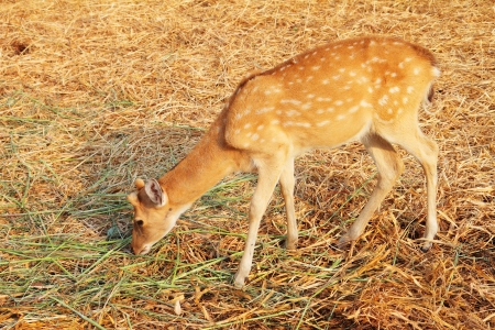 taxonomy: White-tailed Deer Fawn