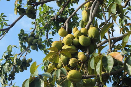 biodiesel: Sterculiaceae on tree, use for alternative energy ethanol and biodiesel. Stock Photo