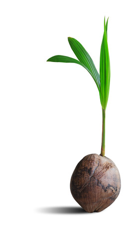 coconut seedlings: Sprout of coconut tree isolated on white background, clipping path.