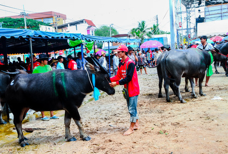 bullock animal: CHONBURI - OCTOBER 7 : Unidentified participants in 143th Buffalo Racing Festival on October 7, 2014. Chonburi, Thailand. Buffalo Racing Festival is a tradition of Chonburi.