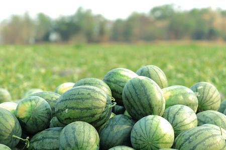 Watermelon in vegetable garden for harvest.