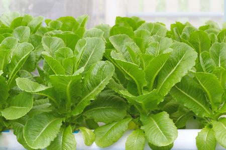 romaine: Cos Lettuce Romaine Lettuce hydroponics vegetable in farm for harvest.