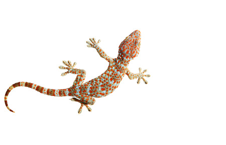 bugaboo: Gecko isolated on white background with clipping path. Stock Photo