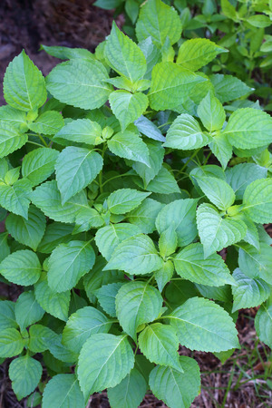 Tree Basil, Caraway plant in garden(Shrubby basil,  Ocimum gratissimum)