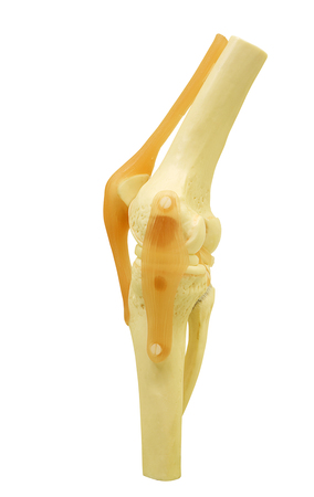 Plastic study model of a knee joint isolated on white background, clipping path.