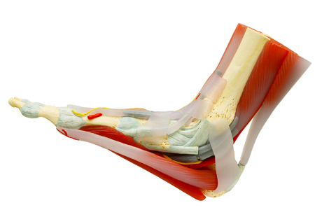 El pie derecho humano muscles el modelo de la anatomía aislado en blanco, camino de recortes. Foto de archivo