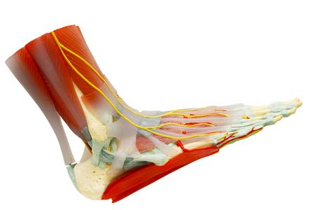 Vista lateral del modelo de anatomía de los músculos del pie derecho humano aislado en blanco, recorte camino.
