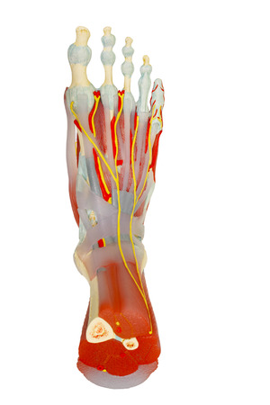 Top view of human foot muscles anatomy model isolated on white, clipping path. Stock Photo