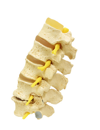 Side view of plastic study model backbone spinal nerve (spinal, vertebrae, orthopedic) isolated on white background, clipping path. Фото со стока