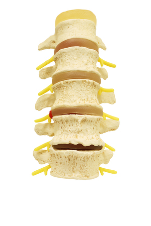 Front view of plastic study model backbone spinal nerve (spinal, vertebrae, orthopedic) isolated on white background, clipping path.