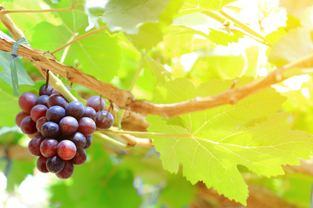 Ripe of grapes fruits on the ranch at sunrise in Thailand.